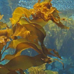 Morská riasa Kelp