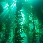 kelp_cerstve_riasy