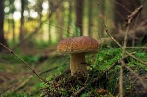 huba v lese