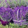 kvety_levandule